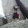山岳登山犬